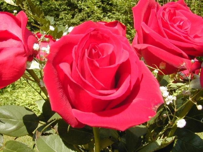 7 Rose Red pink