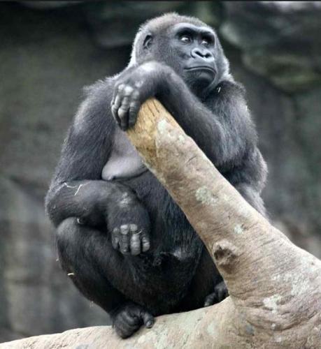 1a Female Gorilla alone in passive mood holding a log