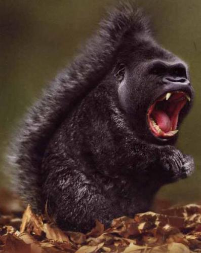1a squirrel gorilla