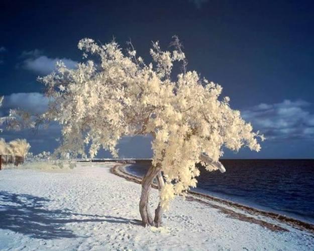 1a White tree