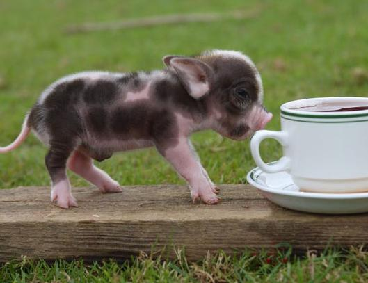 2a Piglet near the cup