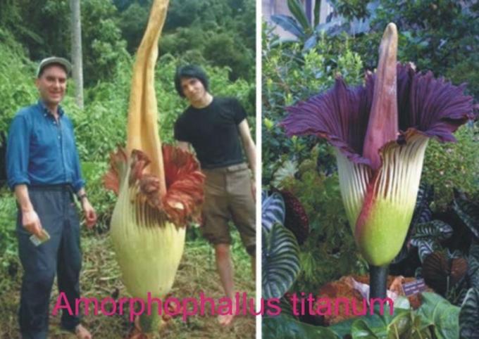 2w rare big flower