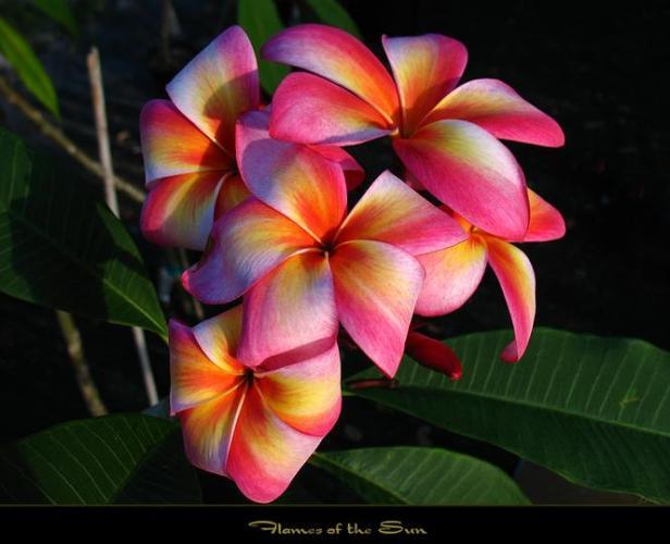 3k rare colourful flower