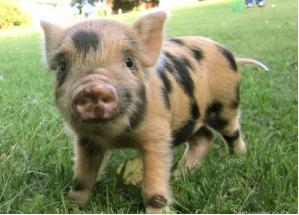 7f piglet striped