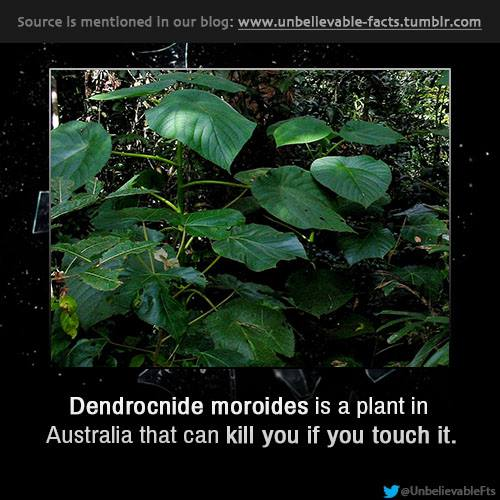 7h Dendrocnide moroides can kill you if u touch