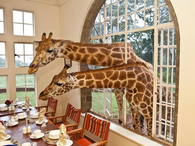 Giraffe in hotel