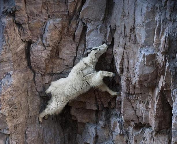 Goat climbing rock