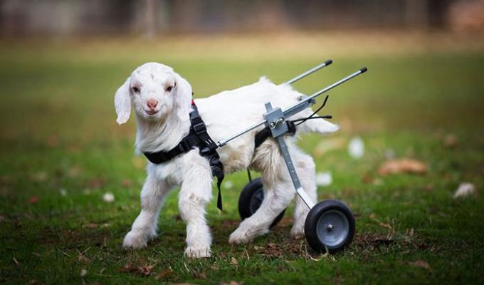 Goat wheelchair