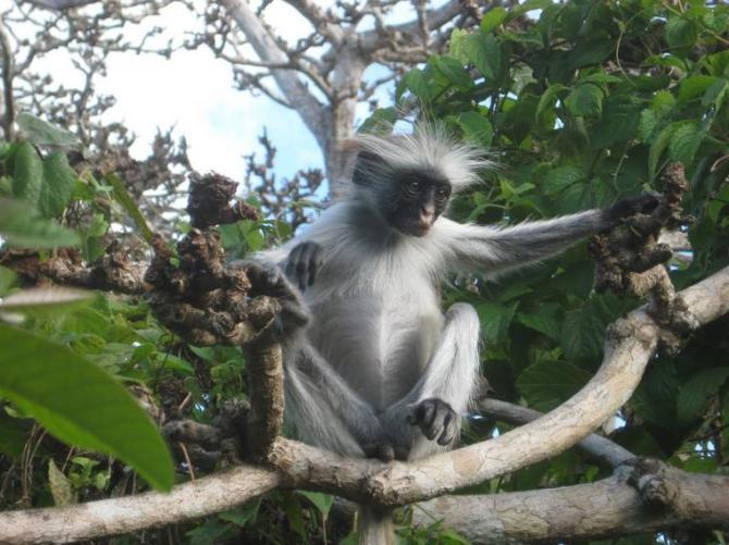32g Monkey of Tanzania