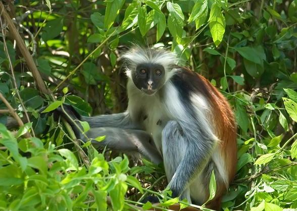 32j Zanzibar Monkey