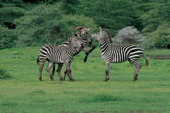 32k Zebras in Tanzania