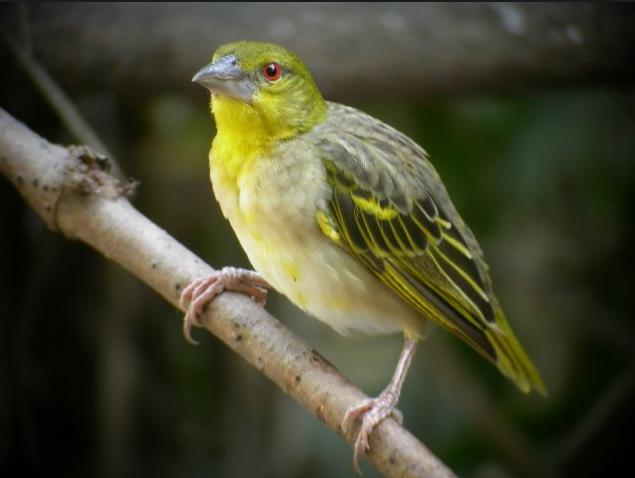32u Yellow bird from Gambia