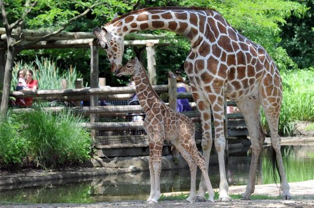 10b Baby Giraffe