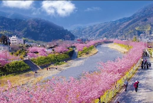 10d Sakura pink cherry