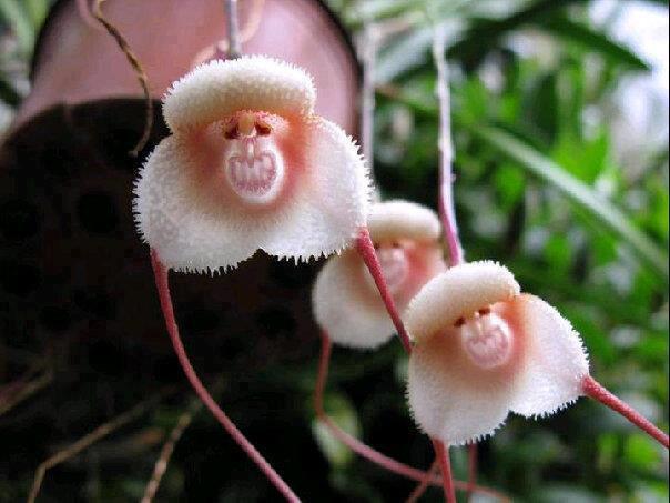 11c Monkey flower