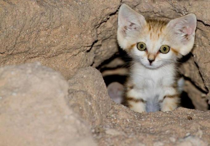 11f Arabian Sand Cat