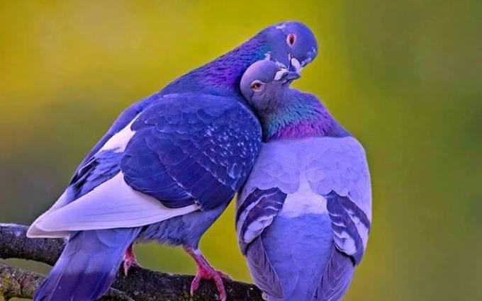 11v Blue birds