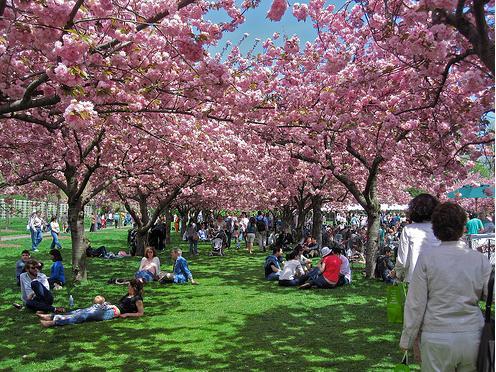 3e Sakura pink cherry