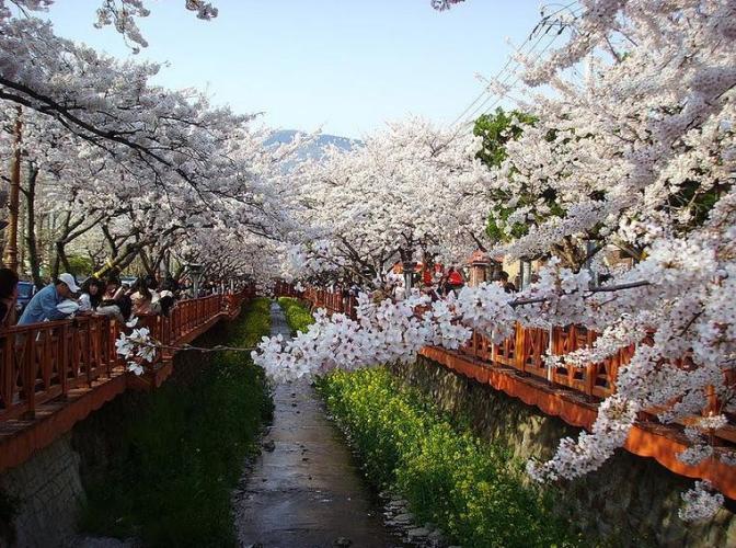 4a meanwhile white flower festival in korea