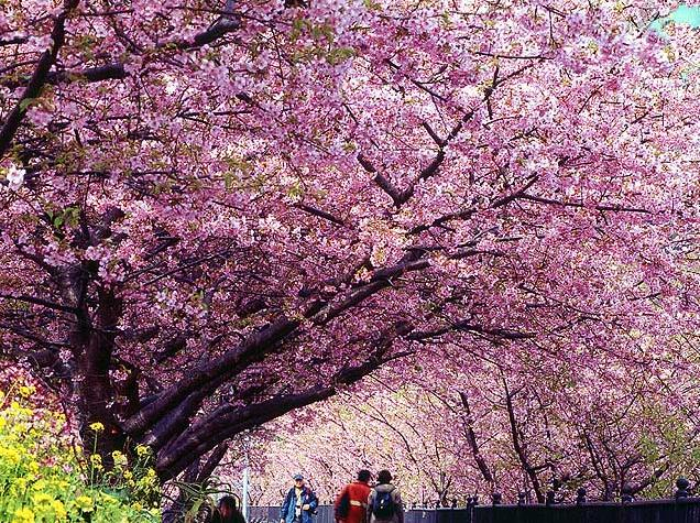 9f Sakura festival