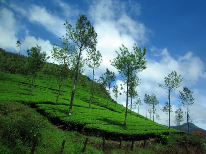 31u My Tea garden estate