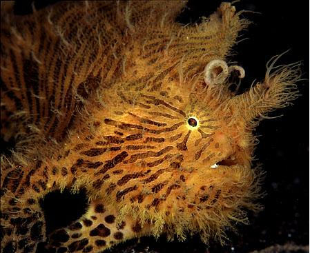 Frogfish Hairy