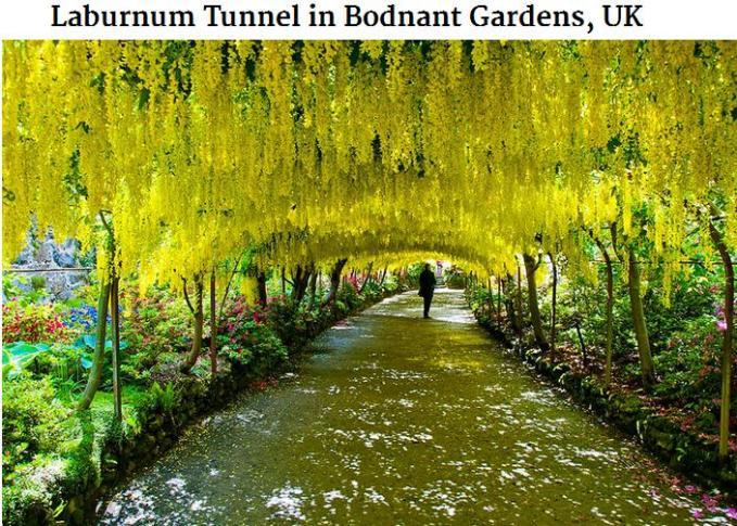 Laburnum Tunnel Bodnant Gardens