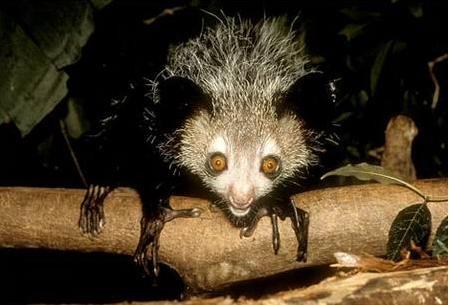 Madagascar Aye Aye