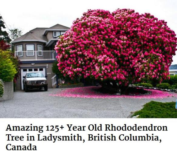 very old rhododendron