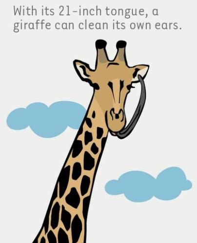 12 Giraffe cleaning its ear