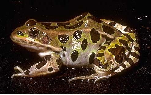 5 northern leopard frog swallows