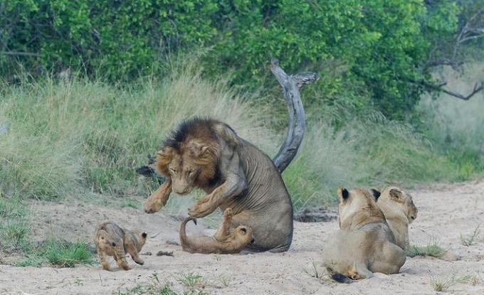 7 Lion Pride
